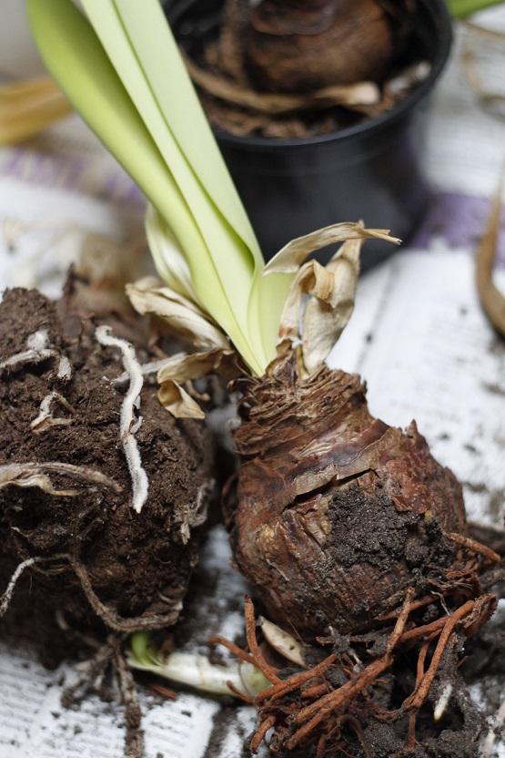amarylliksen sipulit ja juuret
