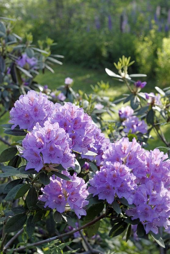 alppiruusun kukat